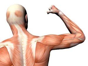 musculatura_espalda